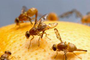 Ako sa zbaviť ovocných mušiek