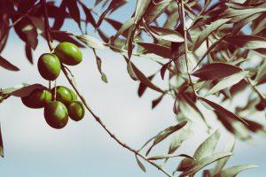 Olivy, liečivá pochúťka