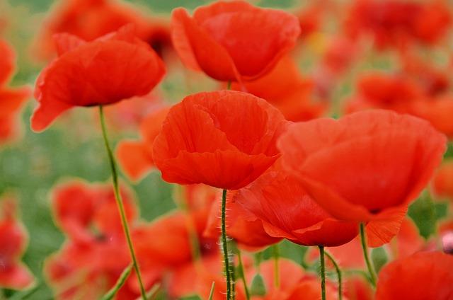 poppy-860473_640