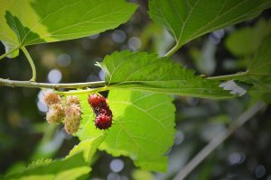 Moruša: stromová černica z ďalekej Číny