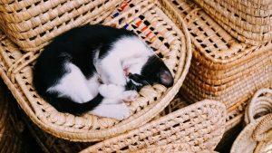 pet-animal-cat
