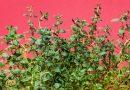 Tymián: vôňa sľúbená s chuťou Stredomoria