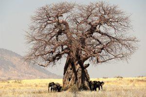 Baobab: strom Malého princa