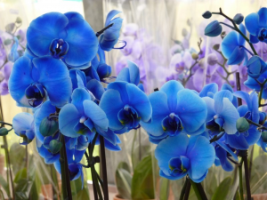 orchidea-modro-flower-krásna rastlina, kvet, bloom