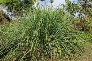 Citrónová tráva: nenápadná a pritom voňavá