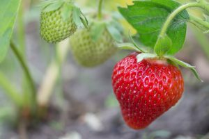 strawberry-2343487_1280