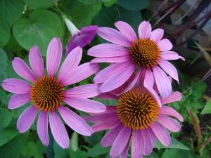 echinacea-coneflower-flower-garden-plant-nature