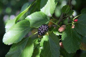 Moruša: stromová malina