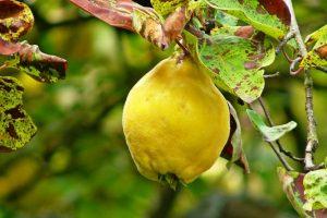 Dula: zabudnuté ovocie