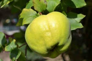 quince-quince-tree-quince-leaves-green-green-fruit