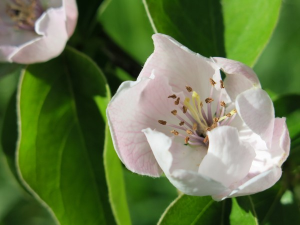 quince-tree-blossom-flower-close-up-branch